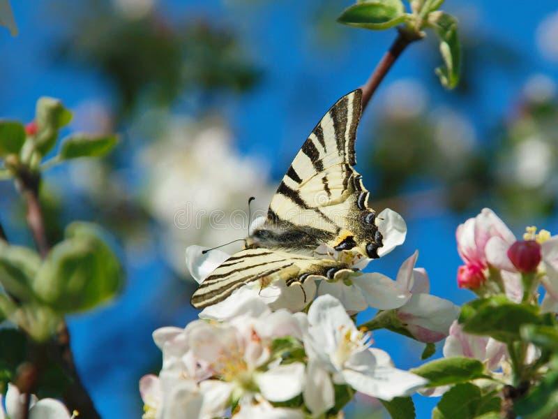 Podalirius della farfalla immagine stock libera da diritti