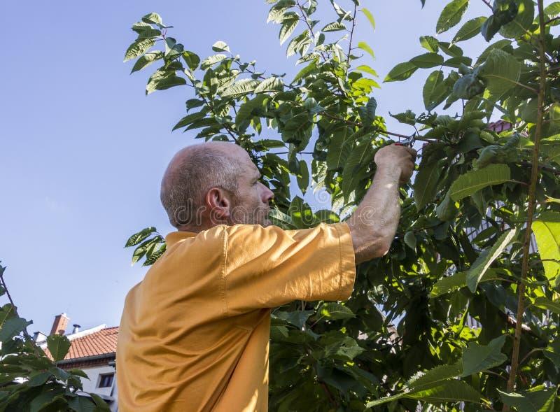 Podando a árvore de cereja imagens de stock