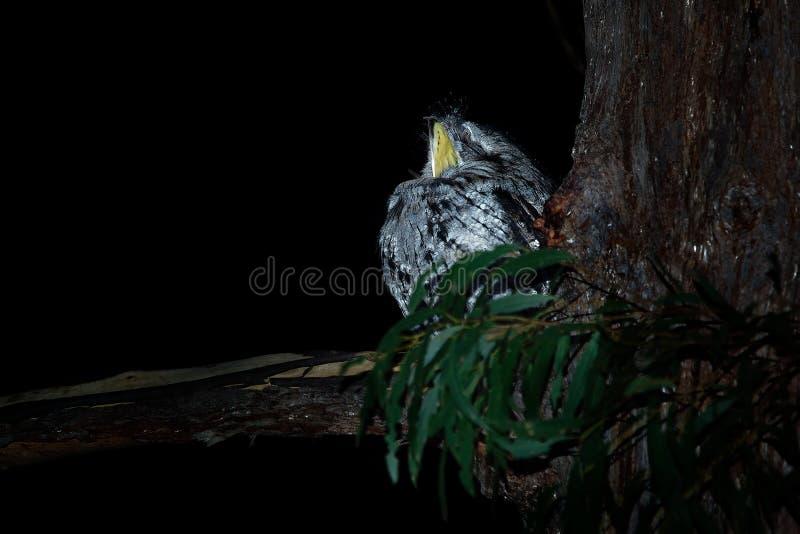 Podargus strigoides - Tawny Frogmouth kozodój od Australia, siedzi na drzewie zdjęcie stock