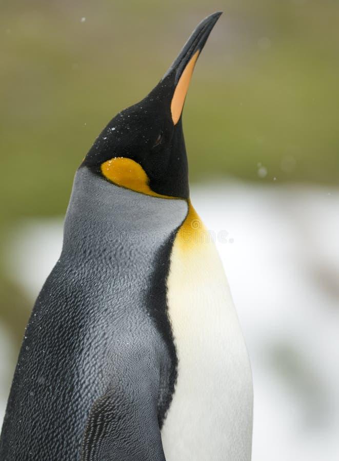 podbródka królewiątka pingwin zdjęcie royalty free