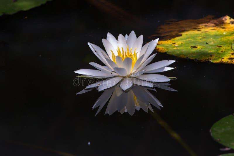 Podczas gdy wodna leluja z czarnym tłem i zieleń leaf obraz stock