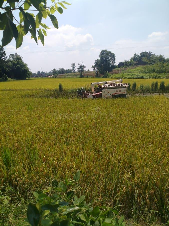 Podczas ruchliwie jesieni żniwa sezonu, rolnicy niosą żniwiarzów zbierać ryż w ryżowych polach; zdjęcia royalty free