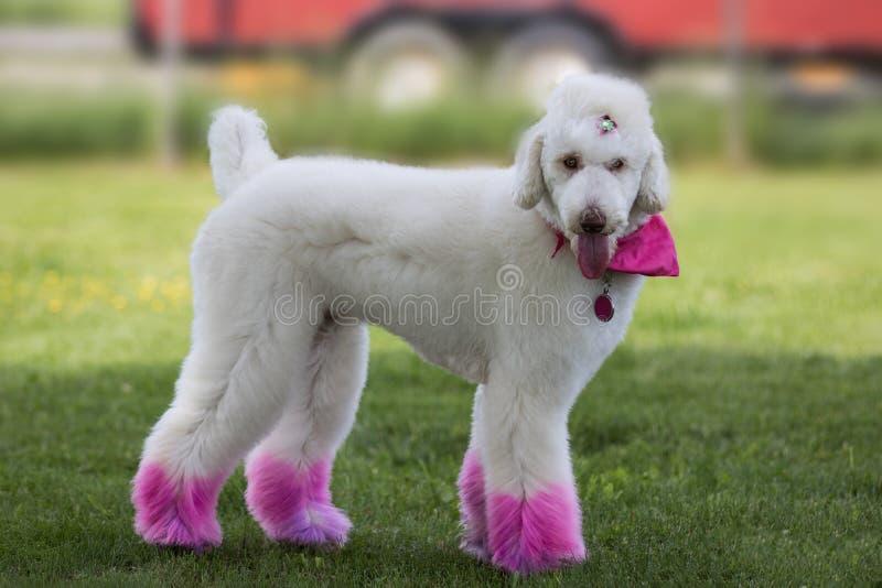 Poddle mit den Beinen gemalt in der rosa Farbe stockbilder