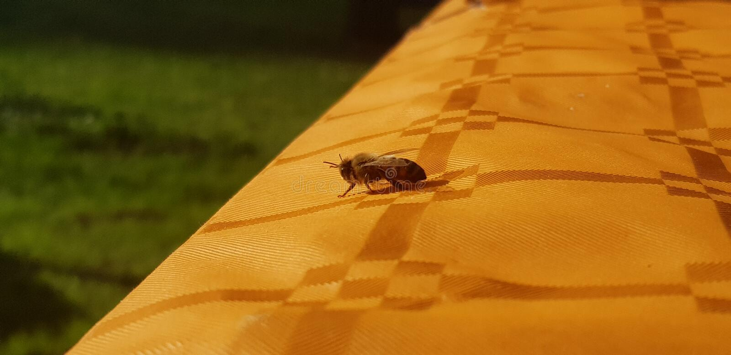 Pode primeiramente a abelha imagem de stock
