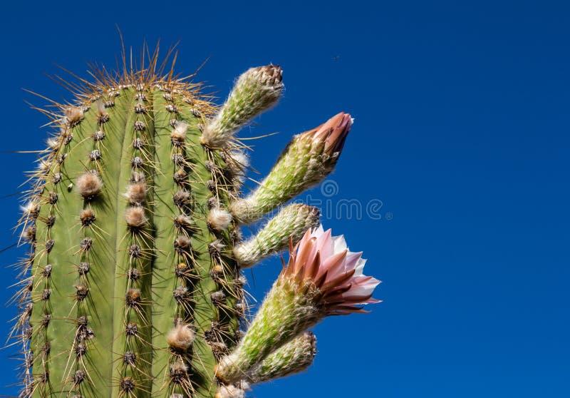Podejście typowy pustynny kaktus zdjęcia stock