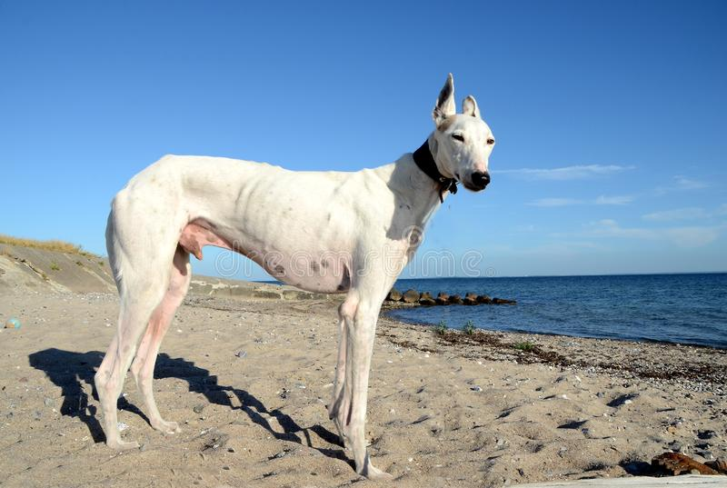 Podencohond bij strand royalty-vrije stock afbeeldingen