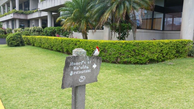 Poder cardinal em oahu imagens de stock