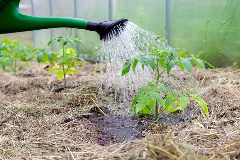 Poder plástica de la aspersión o concentrar la planta de tomate de riego en el invernadero Plantas de tomate de cosecha propia or foto de archivo libre de regalías