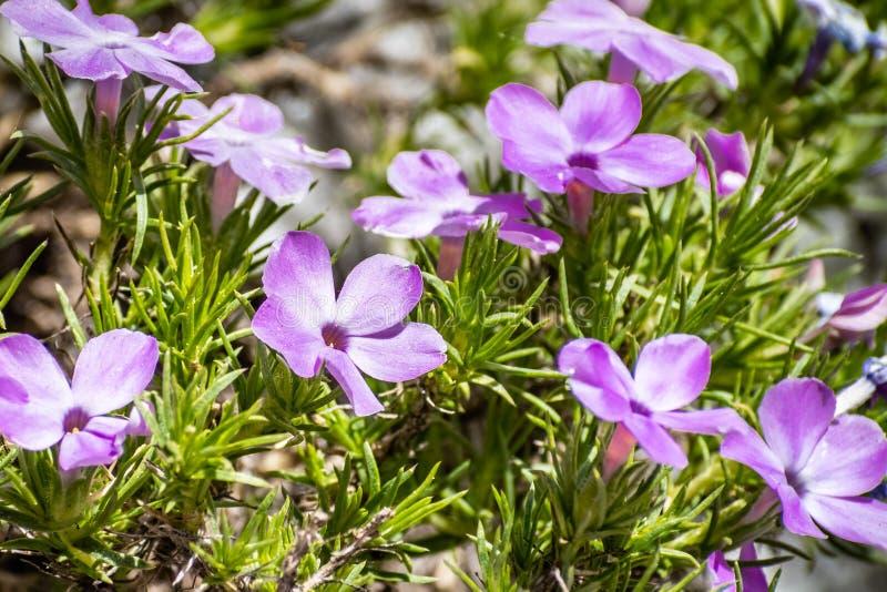 Podesłanie floksa floksa diffusa kwitnienie przy dużą wysokością na wartownik kopuły śladzie w Yosemite parku narodowym, Sierra N obraz royalty free