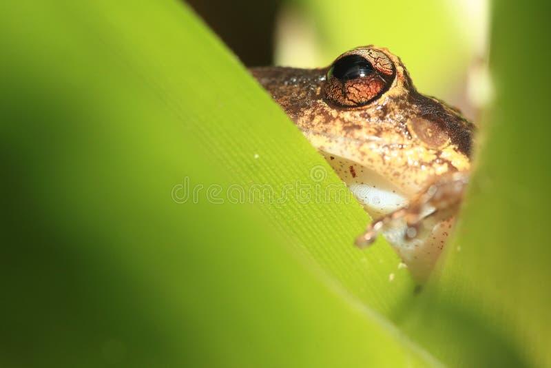 Podeszczowa żaba na liściu obrazy stock