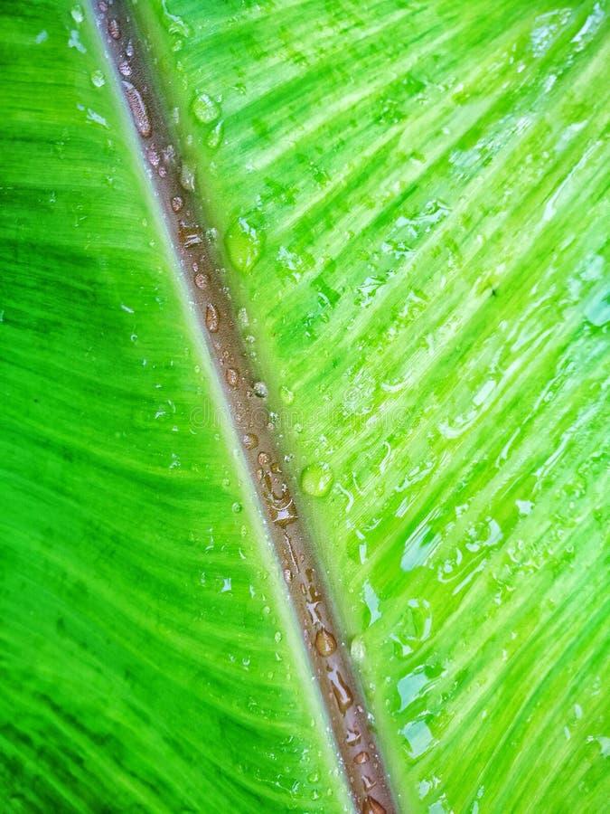 Podeszczowa kropla na zielonym bananie obrazy stock