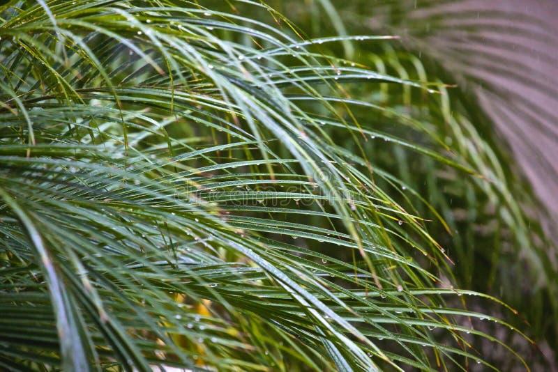 Podeszczowe kropelki na drzewko palmowe liściach zdjęcie stock