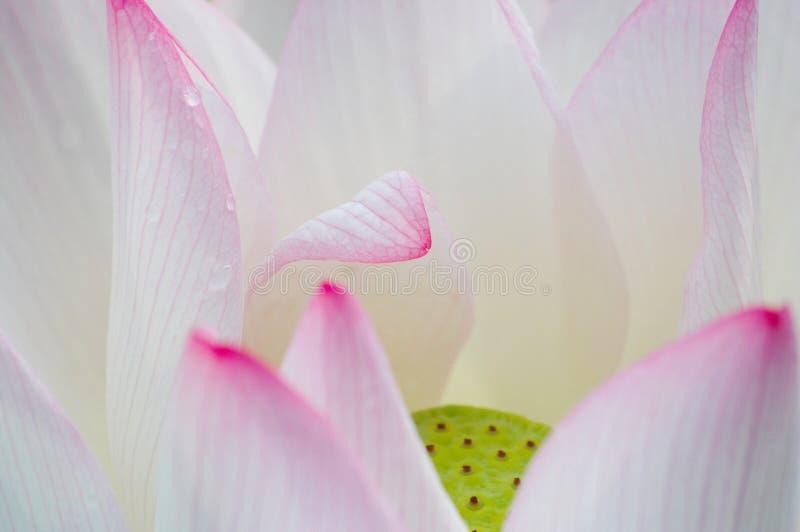 podeszczowy lotosu lato zdjęcie royalty free