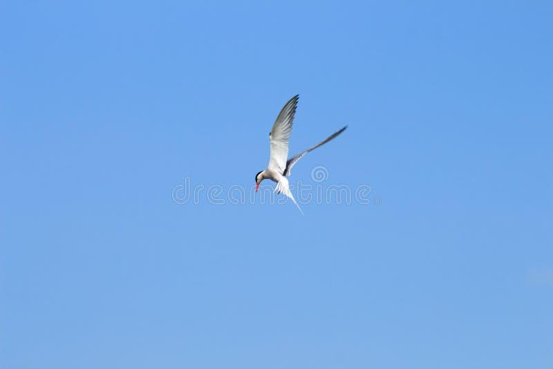 Podglądający pospolity tern, Hengforderwaarden, Holandia fotografia royalty free