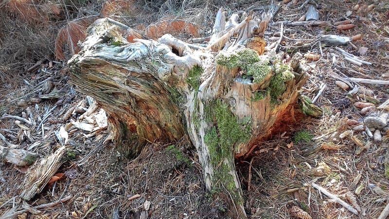 Podgniły drzewny fiszorek Resztki za piękno Smutna fotografia Piękno natura w jej smuceniu zdjęcia stock