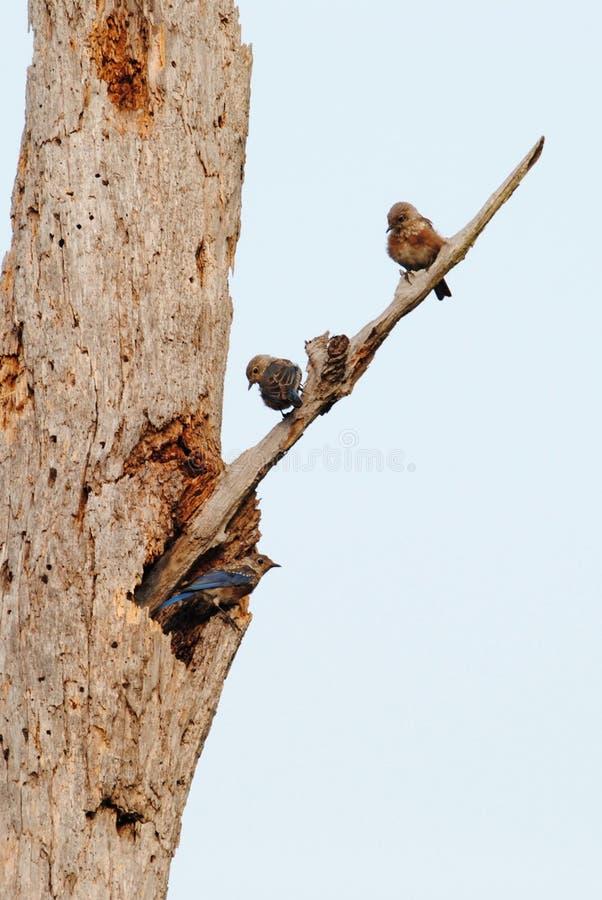 Podgniezdników Wschodni Bluebirds na Nieżywym drzewie obrazy royalty free