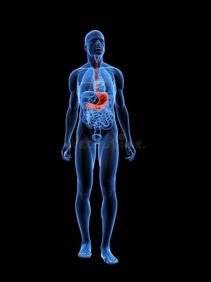 podkreślający żołądek ilustracji