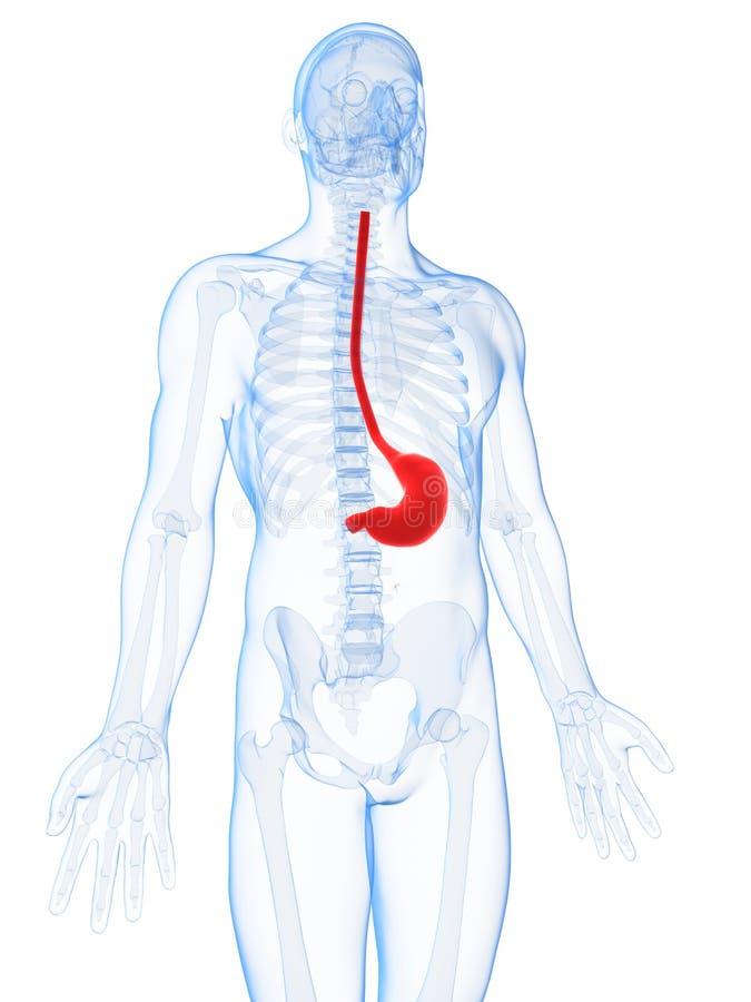 Download Podkreślający Męski żołądek Ilustracji - Ilustracja złożonej z highlight, mężczyzna: 28962262