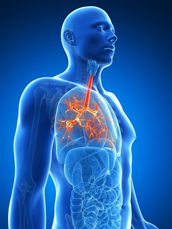 Download Podkreślający oskrzela ilustracji. Ilustracja złożonej z płucny - 28962144