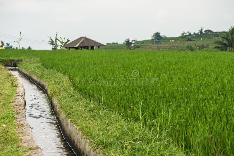 Podlewanie na ryżowych tarasach Rice tarasuje w Tegallalang, Ubud, Bali, Indonezja fotografia stock