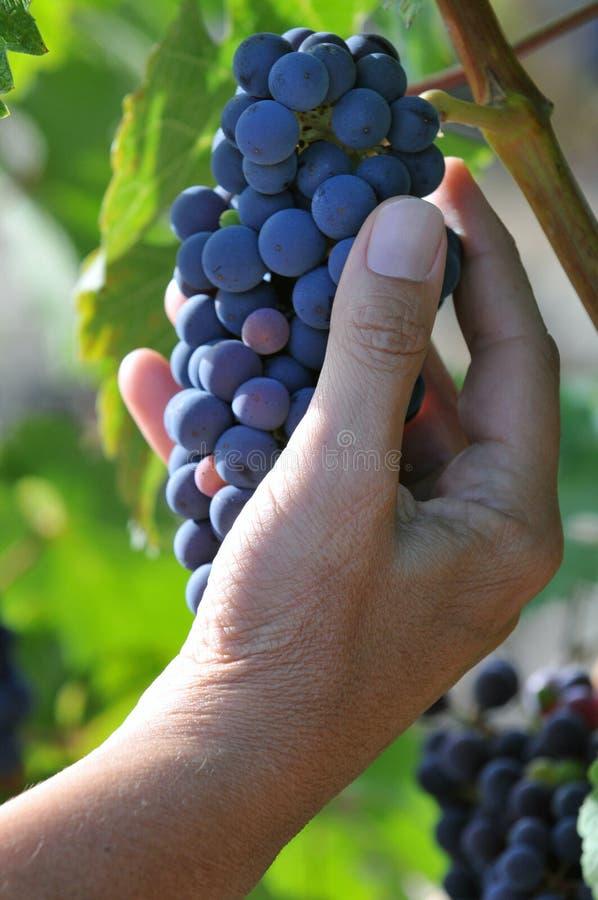 Podnosić wiązkę winogrona obraz royalty free