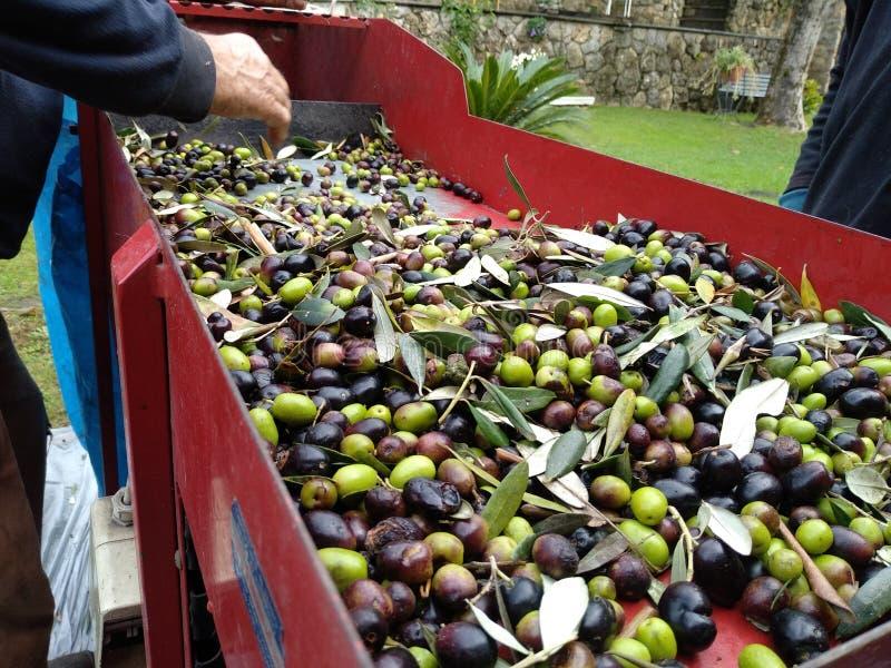 Podnosić zielone i czarne oliwki zdjęcie royalty free