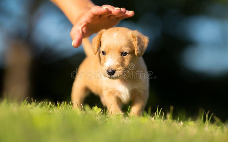 Podnosi zwierzęcia domowego - Mały żółty pies zdjęcie stock