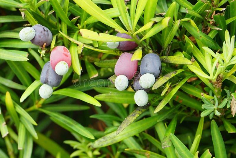 Podocarpus macrophyllus royalty-vrije stock afbeeldingen