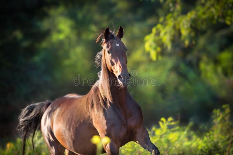 Podpalanego konia bieg cwał fotografia stock