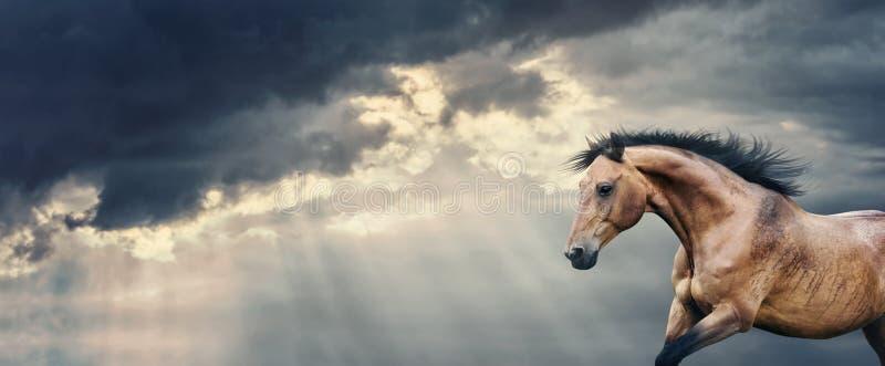 Podpalanego konia bieg przy pięknej ciemnej burzy chmurnym niebem z promieniami słońca łamanie przez chmur deszczu i, sztandar fotografia stock