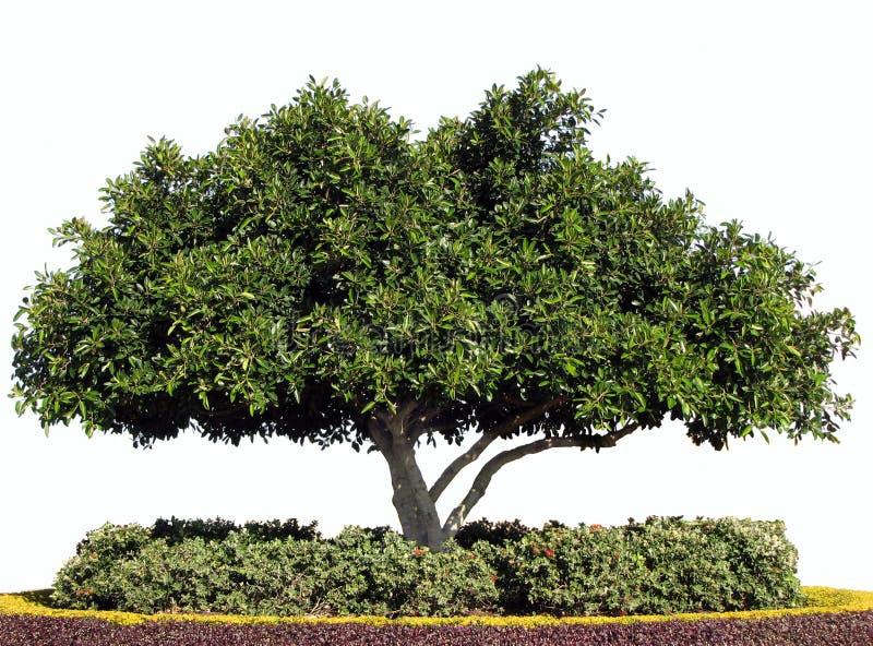 podpalanej figi odosobniony moreton drzewo fotografia royalty free