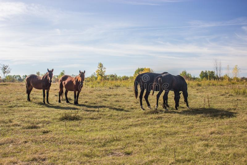 Podpalani i Cisawi konie Pasa w polu obrazy stock