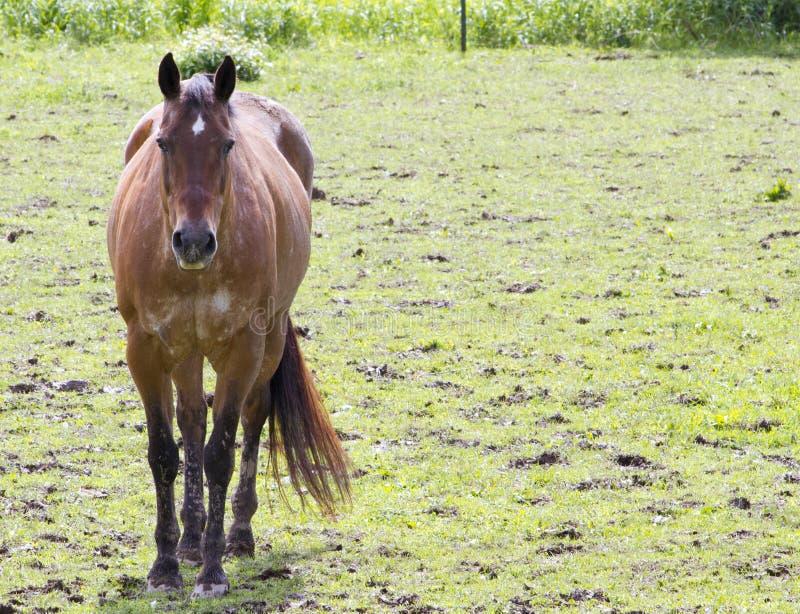 Podpalany koń w polu zdjęcia stock