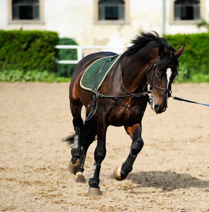 podpalany piękny ciemny koń obraz stock