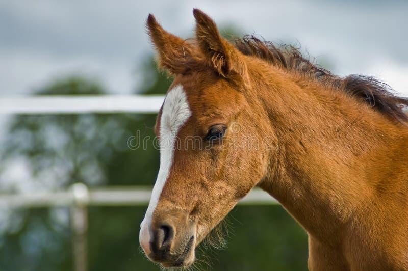 podpalany zamknięty źrebięcia konia profil w górę potomstw zdjęcie stock