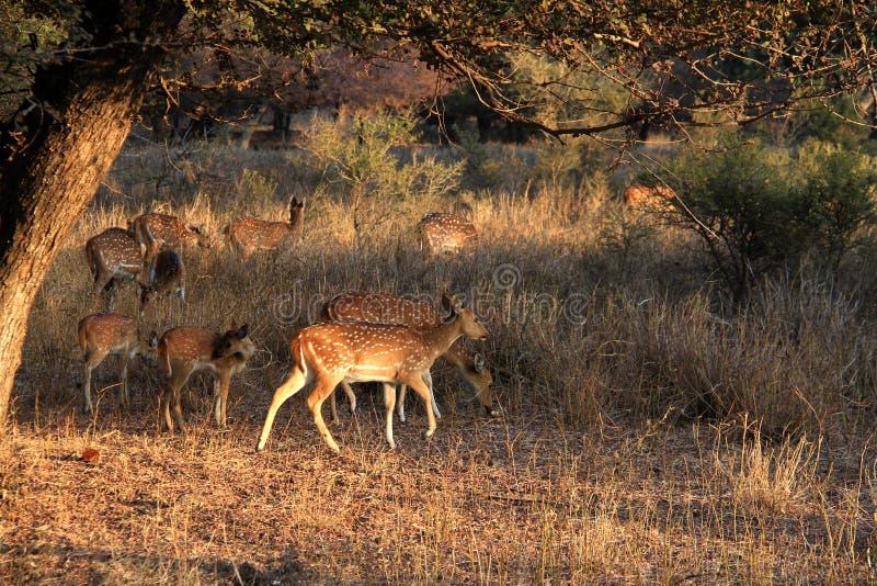 Podróż India: łaciasta jelenia samiec i dzieci w Ranthambore park narodowy zdjęcia stock