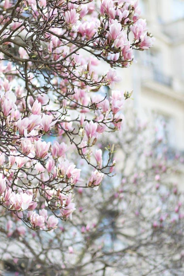 Podróż: Magnoliowy okwitnięcie w Paryskim Francja zdjęcia stock