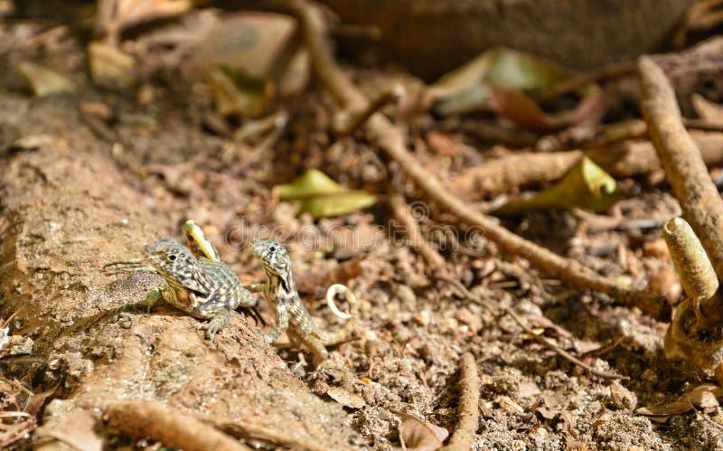 Podróż przez Kuba Śmieszne jaszczurki zdjęcie stock