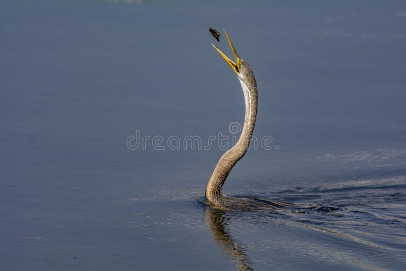 Podrzucać w górę: Orientalny Wężowy lub indianin Wężowi obraz stock