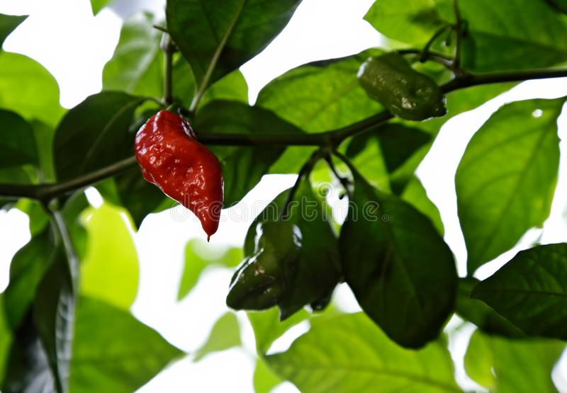 Pods of chili pepper Jigsaw. Chilli pepper Jigsaw has red, ripe and really hot pods royalty free stock photos
