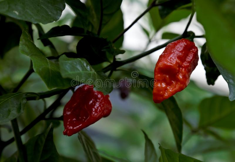 Pods of chili pepper Jigsaw. Chilli pepper Jigsaw has red, ripe and really hot pods royalty free stock image