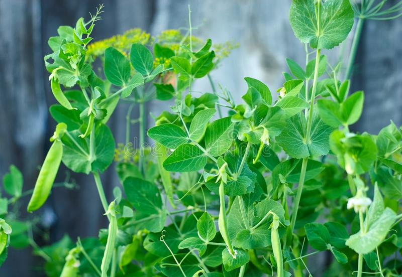 Pods of green peas on the bush in garden. Close up stock photo