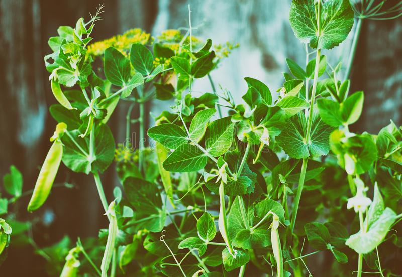 Pods of green peas on the bush in garden. Close up royalty free stock image