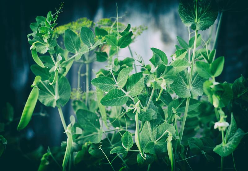 Pods of green peas on the bush in garden. Close up royalty free stock photos
