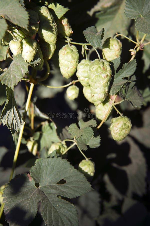 Podskakują roślina pączki R w rolnika Oregon Śródpolnym rolnictwie fotografia royalty free