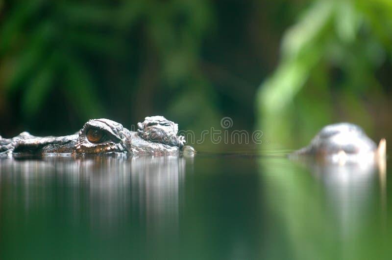 podstępny krokodyla obraz royalty free