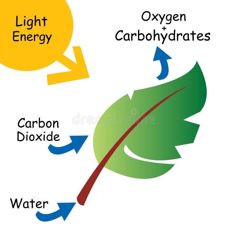 Podstawowa ilustracja fotosynteza ilustracja wektor