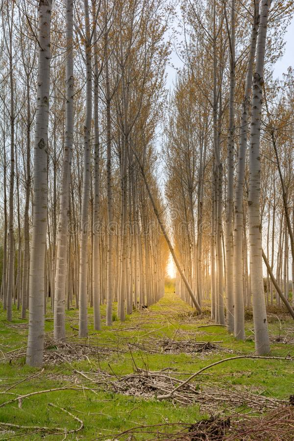 Podtrzymywalny zasoby drewno zamierzający dla przemysłowego use obraz stock