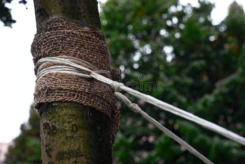 Podwiązka drzewo z arkaną fotografia royalty free