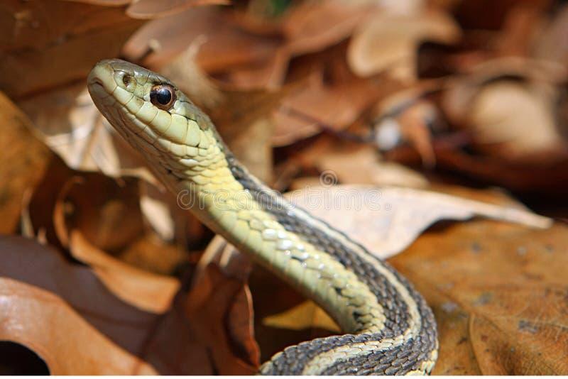 podwiązka wąż obrazy stock